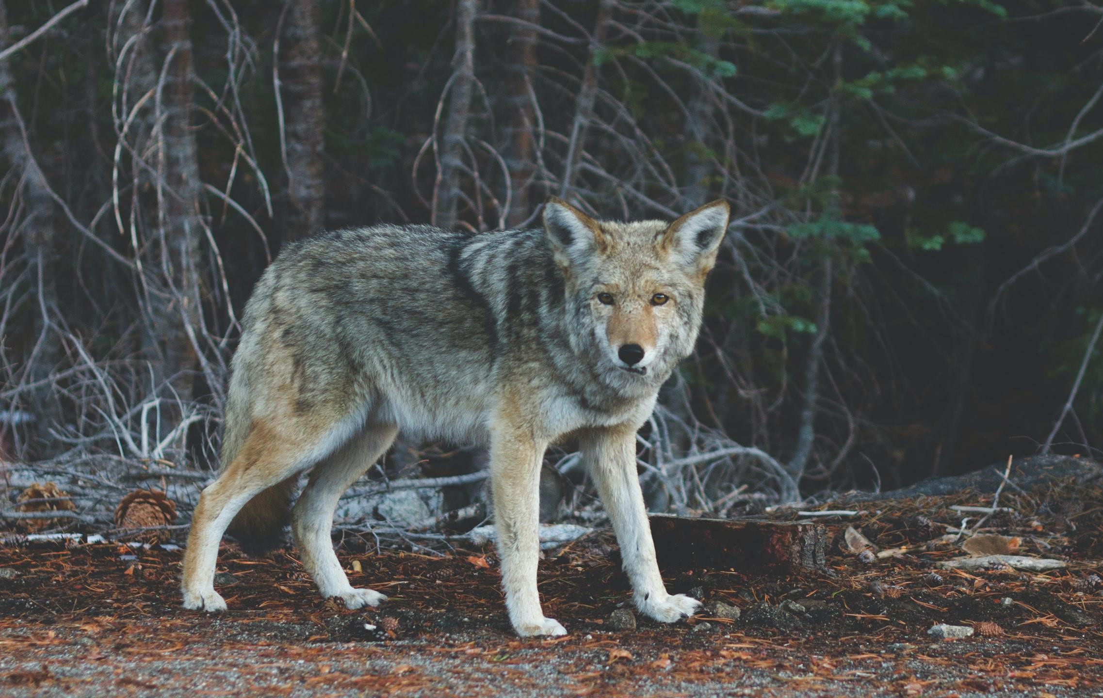 wilk; źródło: Unsplash
